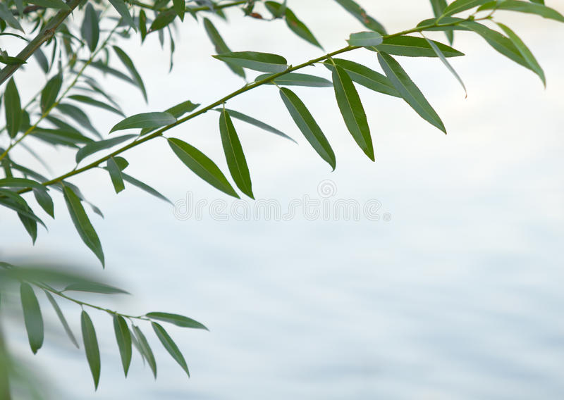 Green Willow Branch Royalty Free Stock Photo Image 37086985