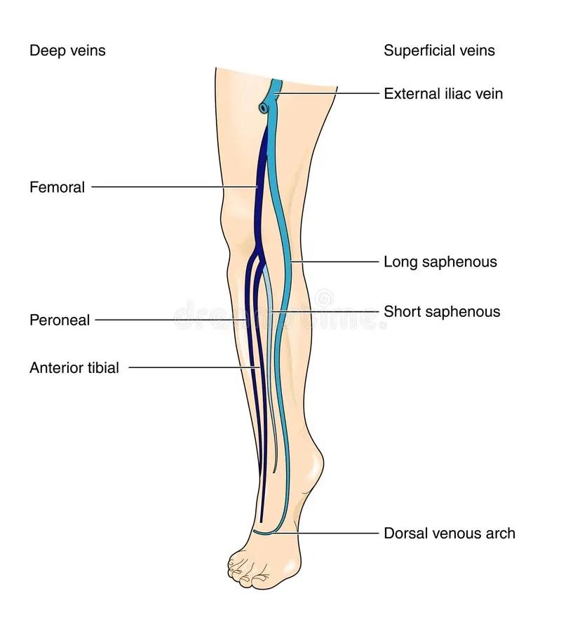 Erfreut Deep Veins Of The Leg Anatomy Galerie - Anatomie Von ...