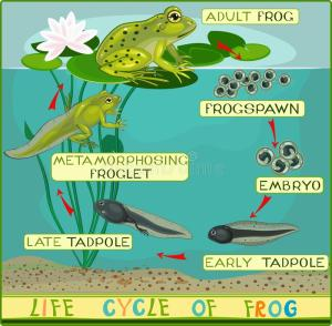 Life Cycle Of Frog Stock Vector  Image: 59589247