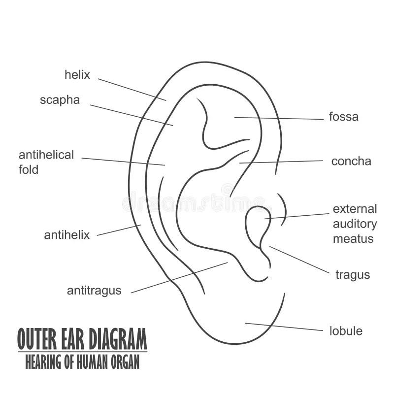 Outer Ear Diagram Hearing Of Human Organ Stock Vector ...