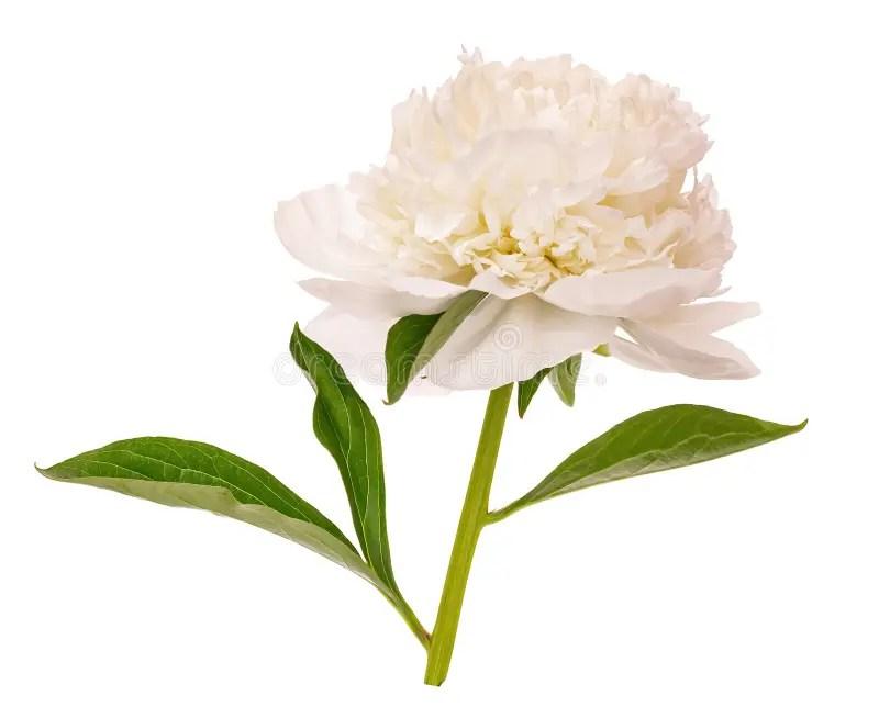 ponie en fleurs blanches sans fond