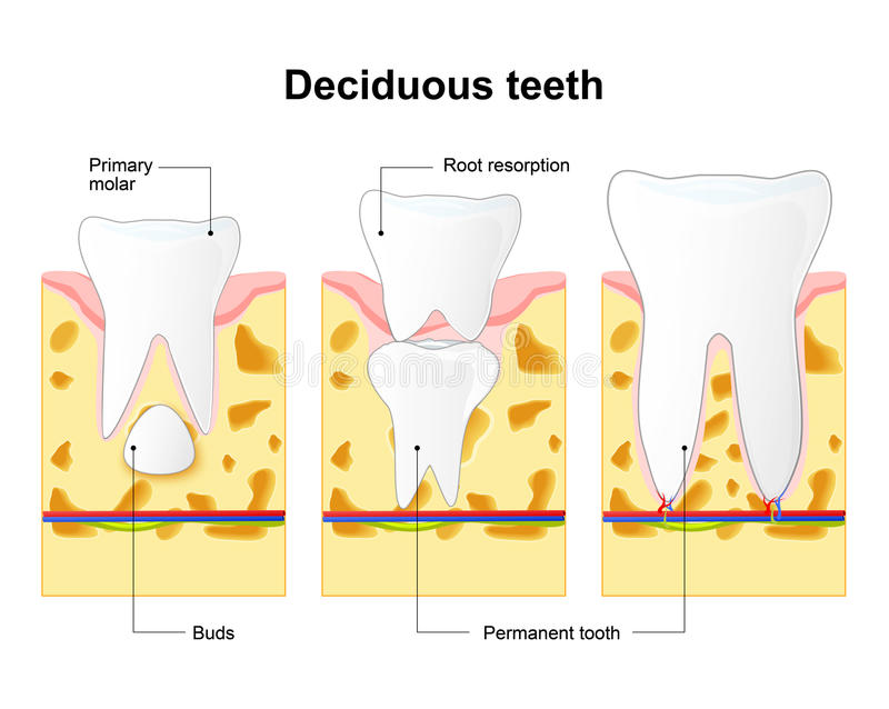 Anatomy Of Teeth Permanent And Temporary