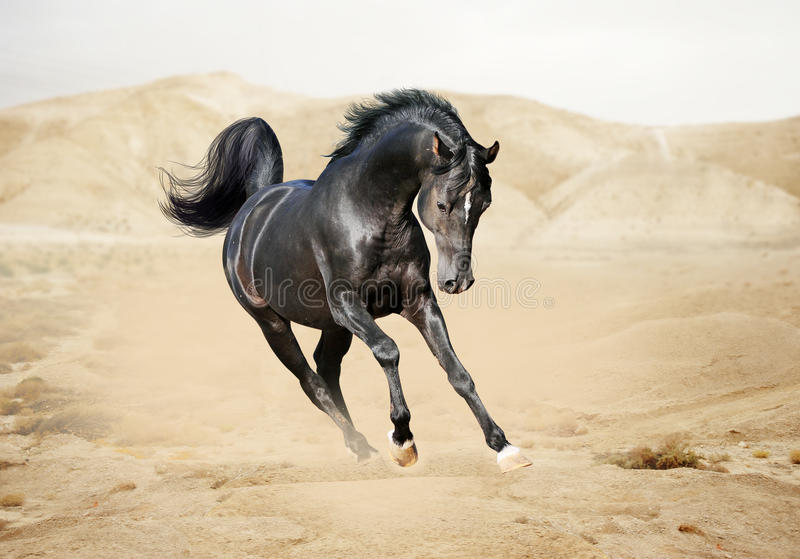 Purebred White Arabian Horse In Desert Stock Images Image 29367764
