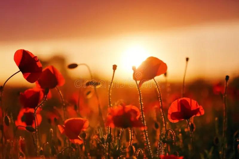 Rot Rote Mohnblume Mohn Kostenloses Foto Auf Pixabay