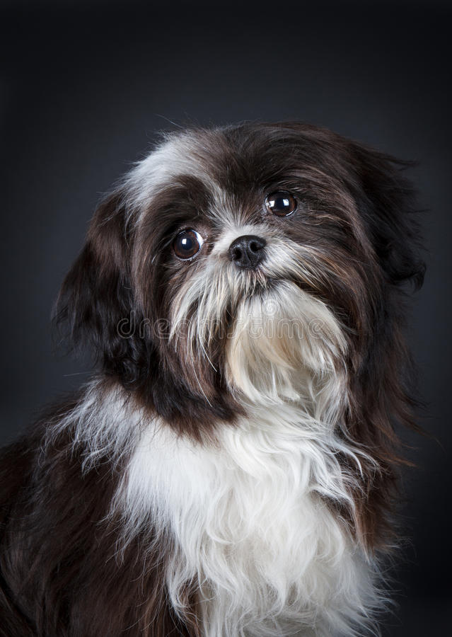 Shih Tzu Dog Stock Photo Image Of Shih Obedience Long