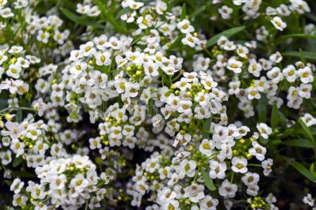 Flower shop near me shrub with tiny white flowers flower shop shrub with tiny white flowers the flowers are very beautiful here we provide a collections of various pictures of beautiful flowers charming mightylinksfo