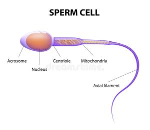 Structure of a sperm cell stock vector Illustration of