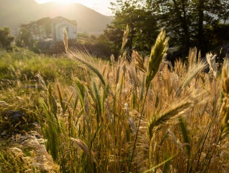 Wheat Tares Photos - Free & Royalty-Free Stock Photos from Dreamstime