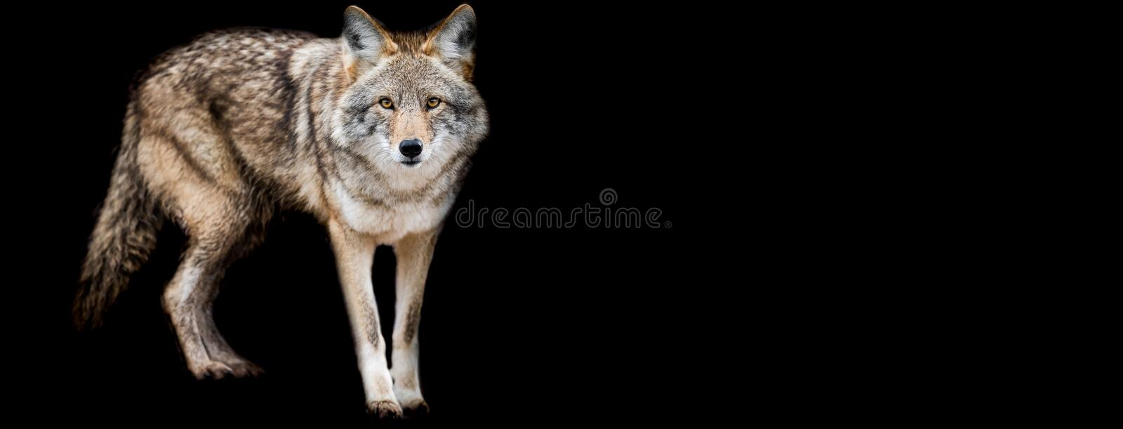 Howling Coyote Template Printable