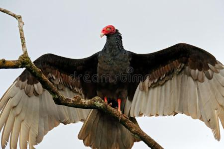 international vulture awareness day mia mcpherson s on the thermoregulating adult turkey vulture vulture symbolism vulture meaning spirit animal totem