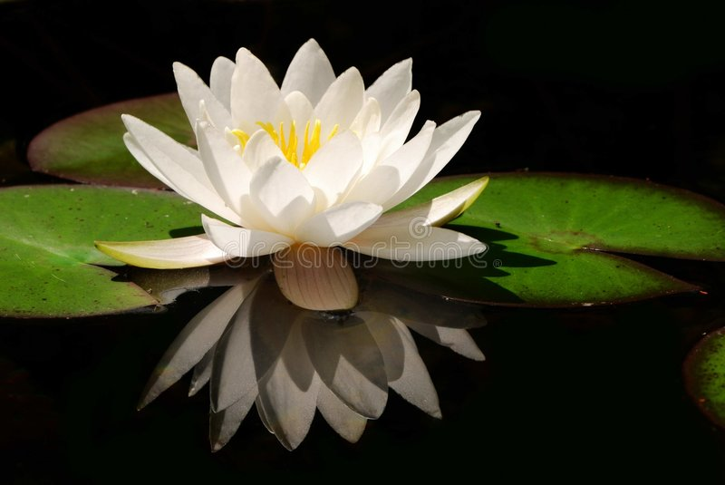 White lotus flower hd images djiwallpaper white lotus flower stock image of fl blossom 3312587 mightylinksfo