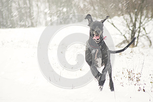 Very happy dog running on first snow field