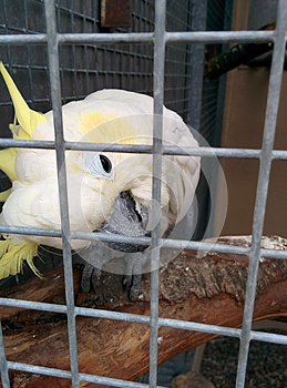 White parrot in cage