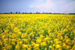 Free A Field Of Yellow Rapeseed Flowers Stock Photo - 59895930