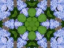 Hydrangeas kaleidoscope Stock Photo