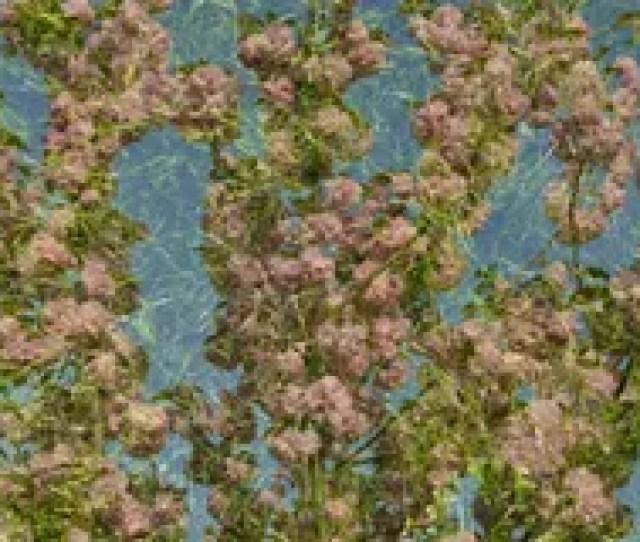 Japanese Cherry Blossom Green Grass Wallpaper Stock Photo