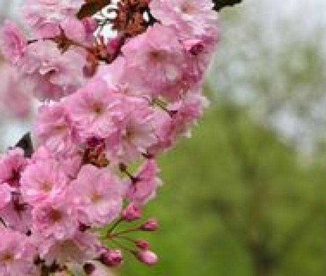 Japanese Cherry Tree Branch In Blossom Stock Image
