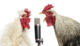 Two roosters singing at a microphone, isolated Stock Photo