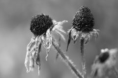 Withered flowers Stock Image