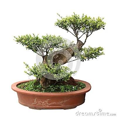 盆景榆木綠色結構樹 免版稅庫存照片 - 圖片: 19171445