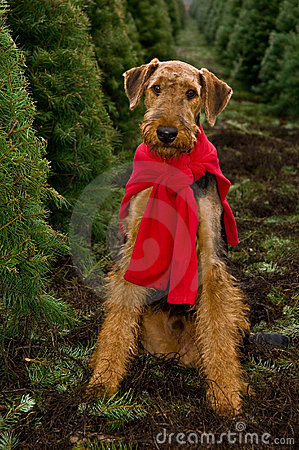 Airedale Dog Christmas Trees Royalty Free Stock Image
