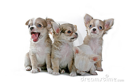Chihuahua Puppies Royalty Free Stock Photography Image