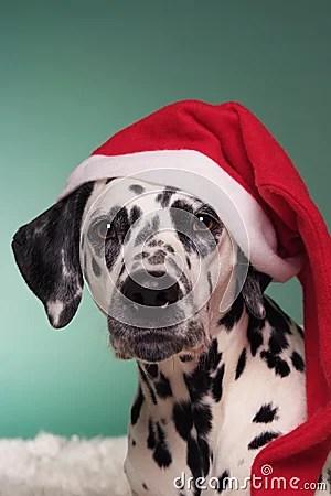 Christmas Dalmatian Royalty Free Stock Photo Image 16441745