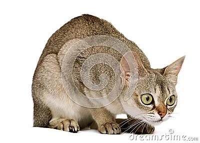 Crouching Singapura Cat Royalty Free Stock Image Image
