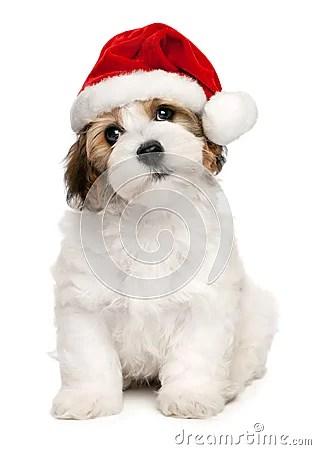 Cute Christmas Havanese Puppy Dog Royalty Free Stock