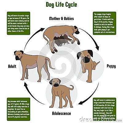 Dog Life Cycle Diagram Vector Illustration Cartoondealer Com 92204860