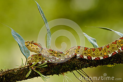 Eyelash Viper Stock Photography Image 28297052