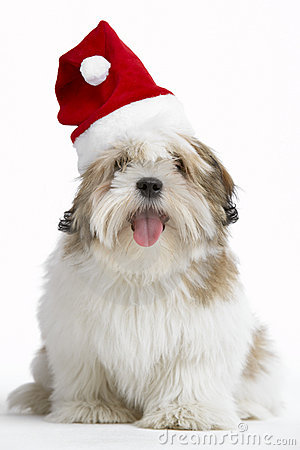 Lhasa Apso Dog Wearing Santa Hat Royalty Free Stock Images