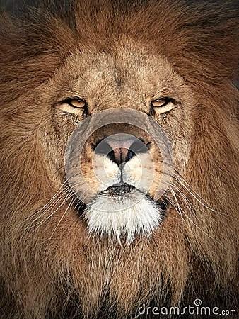 Lion Panthera Leo Stock Photo Image 61466281