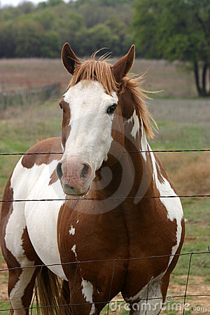 Medicine Hat Paint Horse Stock Photo Image 150950
