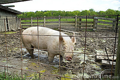 Pig In Sty Stock Photography Image 5335332