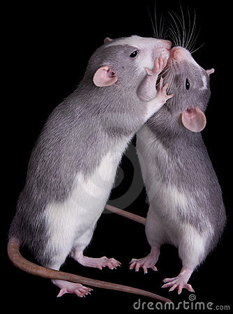 Rat Love Stock Photos Image 10351803