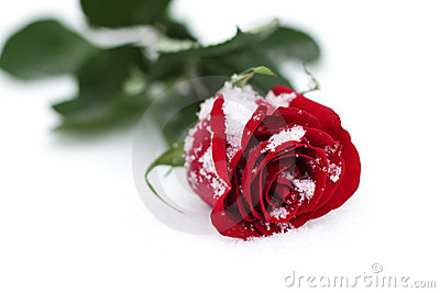 Red Rose In Snow Stock Photography Image 17325322