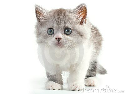 Scottish Straight Breed Young Pussycat Stock Images