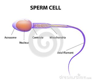 Structure Of A Sperm Cell Stock Vector  Image: 43980330