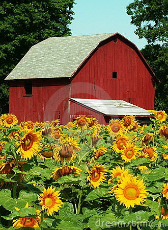 Sunflower Farm Stock Photos Image 184883