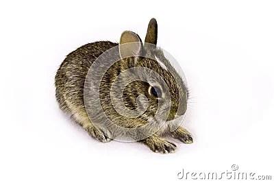 Wild Baby Rabbit Royalty Free Stock Images Image 6442059