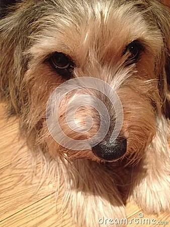 Yorkie Corgi Mix Dog Stock Photo Image 53296663