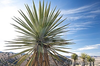 A Yucca Plant In The Texas Hill Country Stock Image