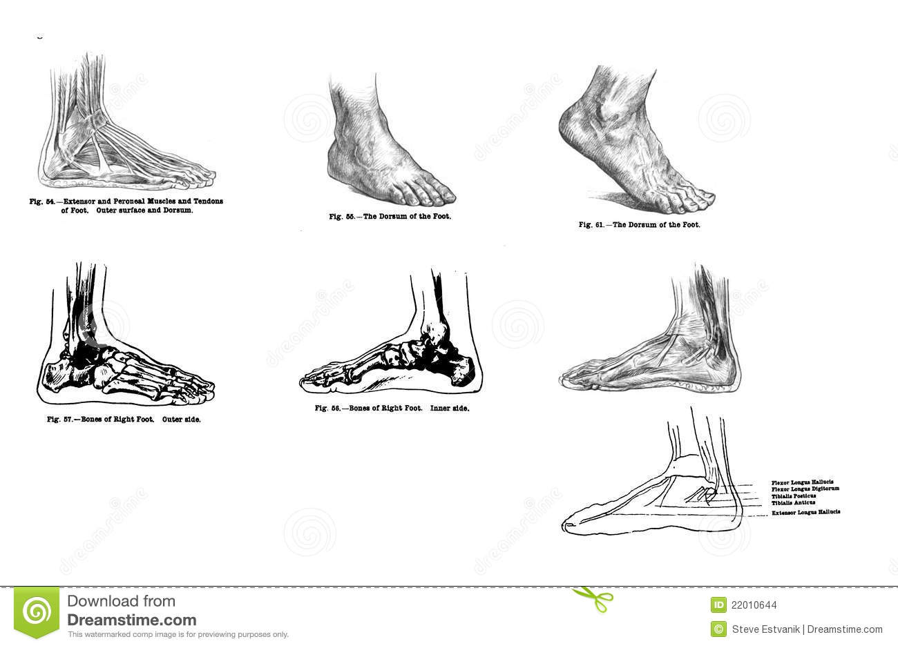 7 Views Of The Human Foot Muscles And Bones Editorial