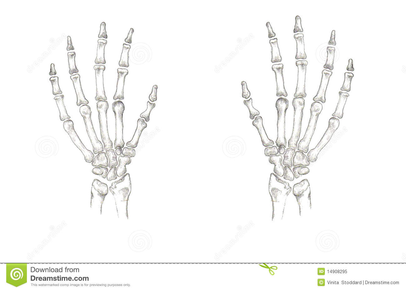 Accurate Hand Bones Royalty Free Stock Photo