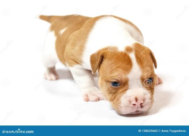 american bulldog puppy on white background stock image