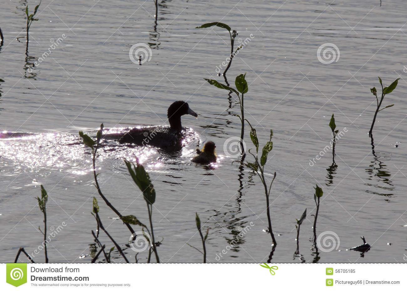 American Coot With Baby Stock Image Image Of Wildlife