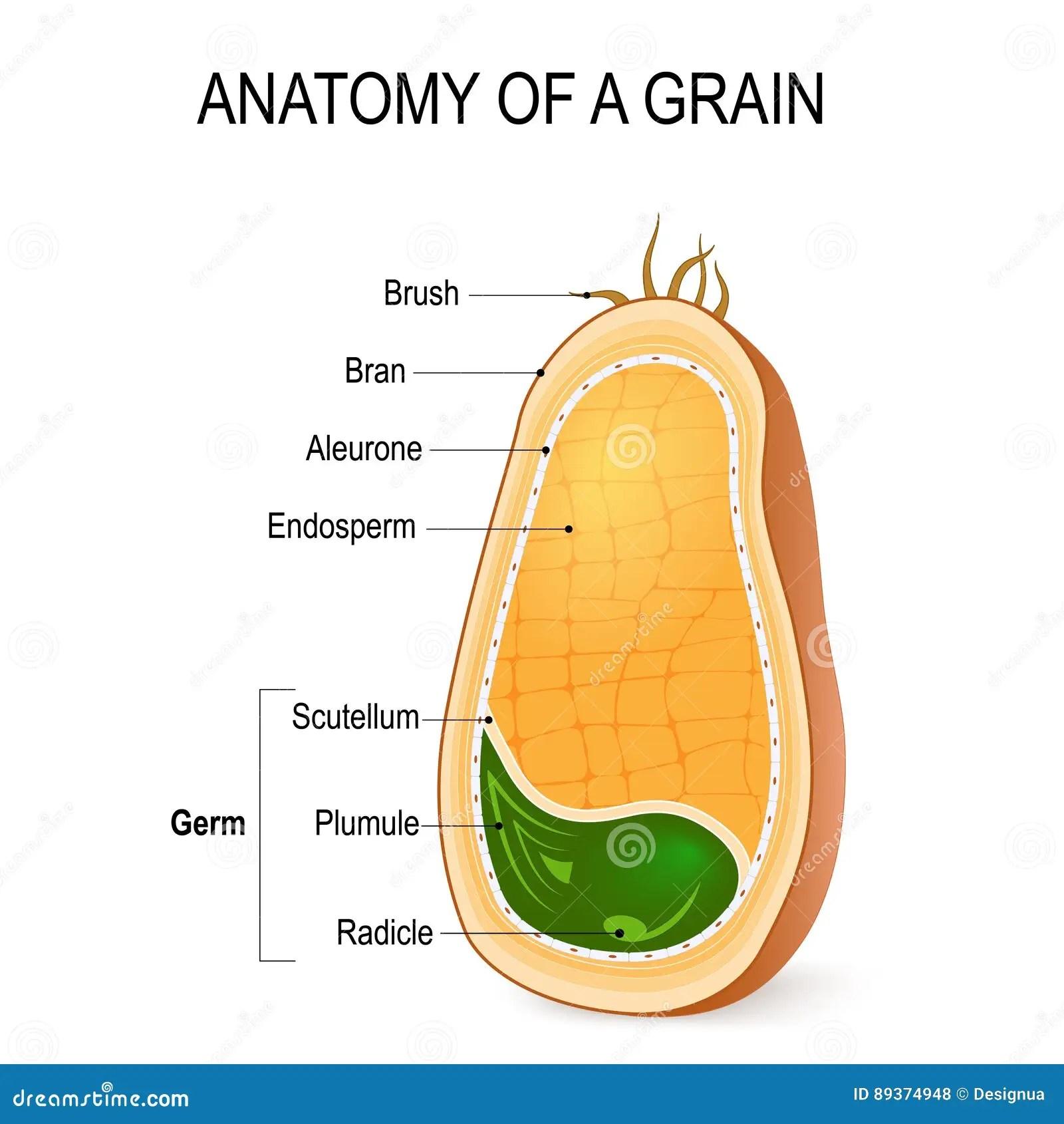 Anatomia De Un Grano Dentro De La Semilla Ilustracion Del