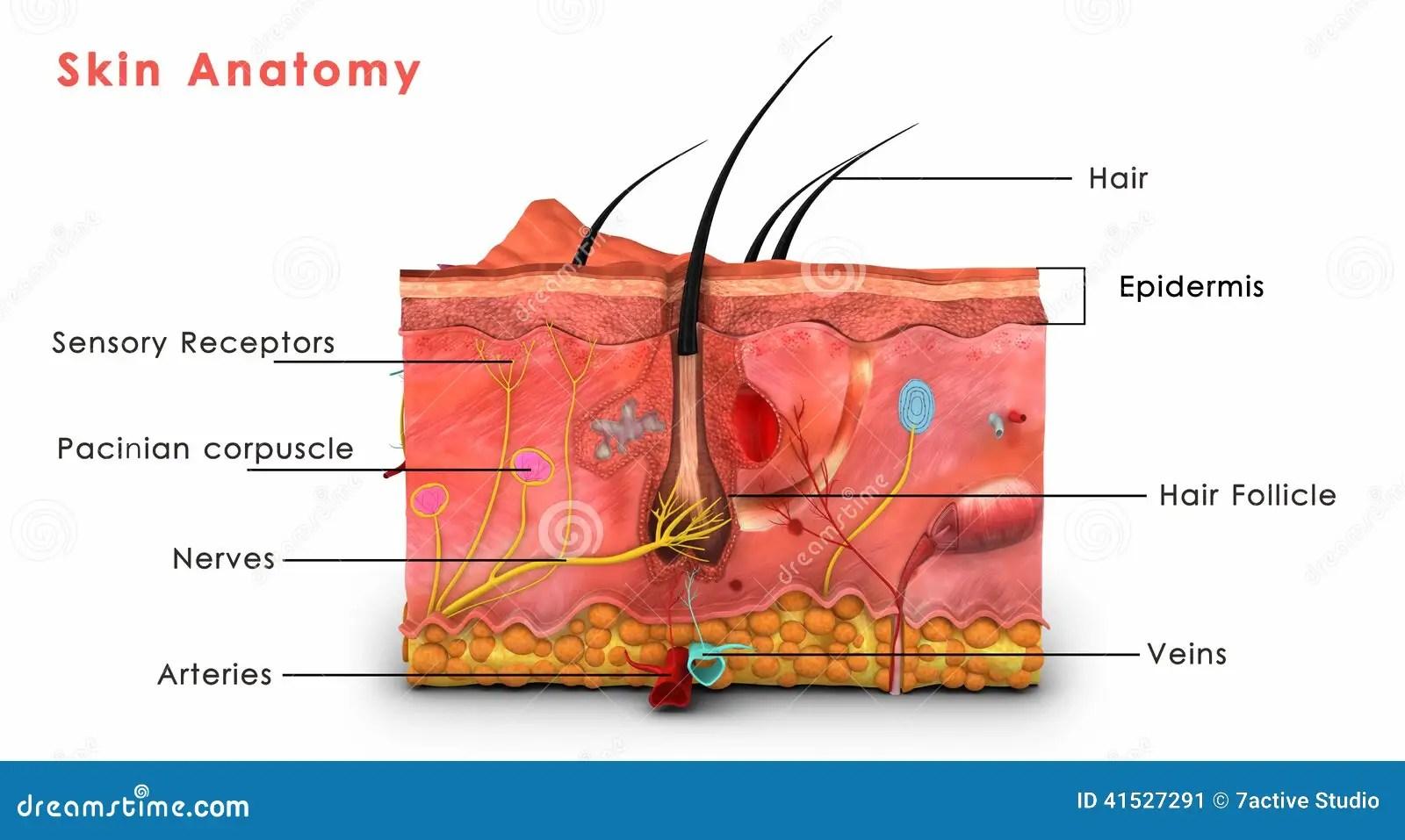 Anatomia Della Pelle Identificata Illustrazione Di Stock