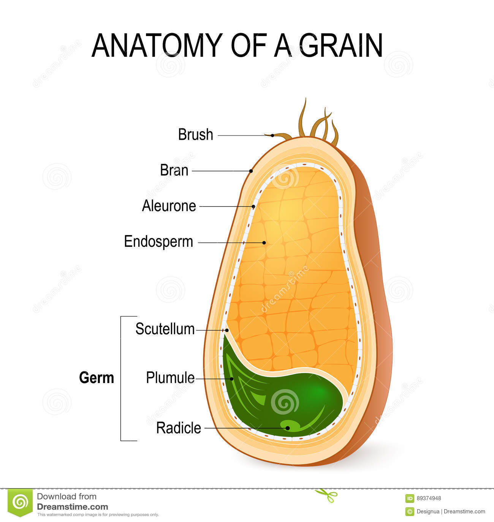 Anatomia Di Un Grano Dentro Il Seme Illustrazione